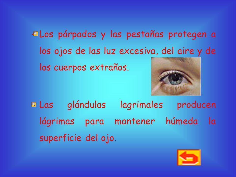 Protección de los ojos Los ojos son unos órganos muy delicados. Para protegerlos tenemos: –Las cejas que impiden que el sudor llegue a los ojos.