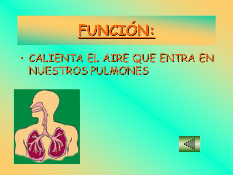 RECUBIERTAS DE: MEMBRANA INFERIORMEMBRANA INFERIOR –Pituitaria Roja MEMBRANA SUPERIORMEMBRANA SUPERIOR –Pituitaria Amarilla