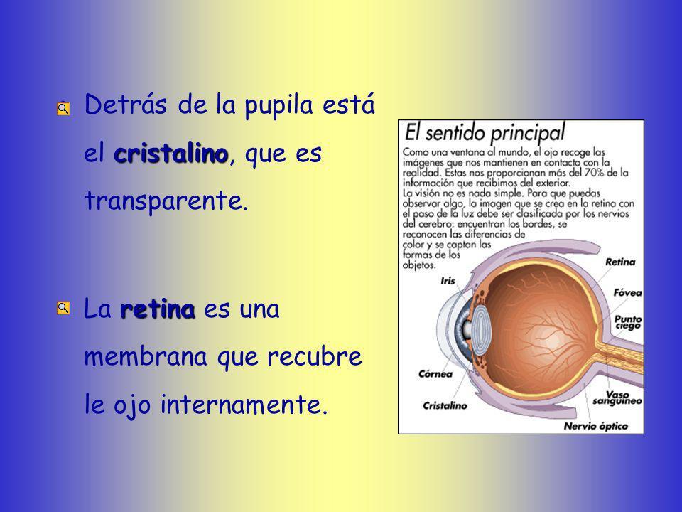 Partes del ojo irisLos ojos presentan una parte coloreada, el iris, que varia de color según las personas. pupilaEn el centro hay un orificio llamado