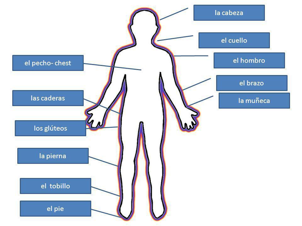 la cabeza el cuello el hombro el brazo la muñeca las caderas los glúteos la pierna el tobillo el pie el pecho- chest