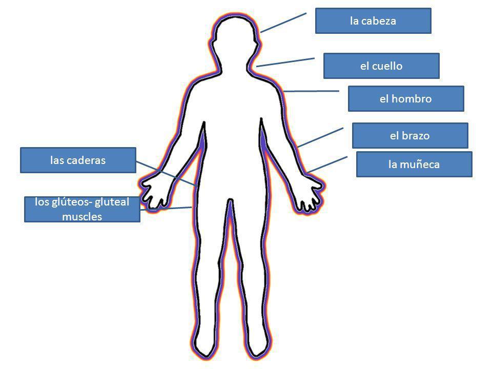 la cabeza el cuello el hombro el brazo la muñeca las caderas los glúteos- gluteal muscles