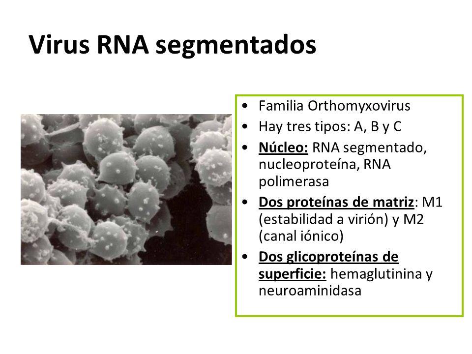 Virus RNA segmentados Familia Orthomyxovirus Hay tres tipos: A, B y C Núcleo: RNA segmentado, nucleoproteína, RNA polimerasa Dos proteínas de matriz: