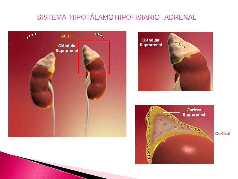 CRH Sistema Parvocelular PLEXO PORTAL PRIMARIO PLEXO PORTAL SECUNDARIO CRH ADENOHIPÓFISIS NEUROHIPÓFISIS C A B D E HIPOTÁLAMO ACTH A B C D E Lactotrop