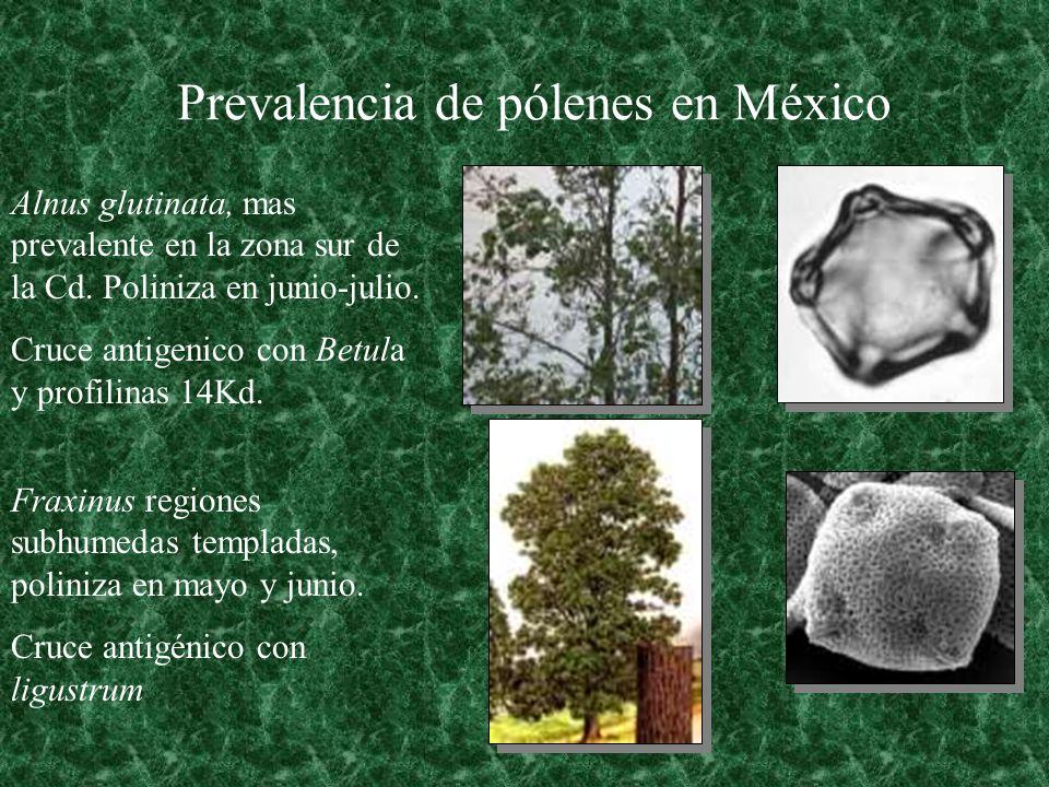 Prevalencia de pólenes en México Alnus glutinata, mas prevalente en la zona sur de la Cd. Poliniza en junio-julio. Cruce antigenico con Betula y profi