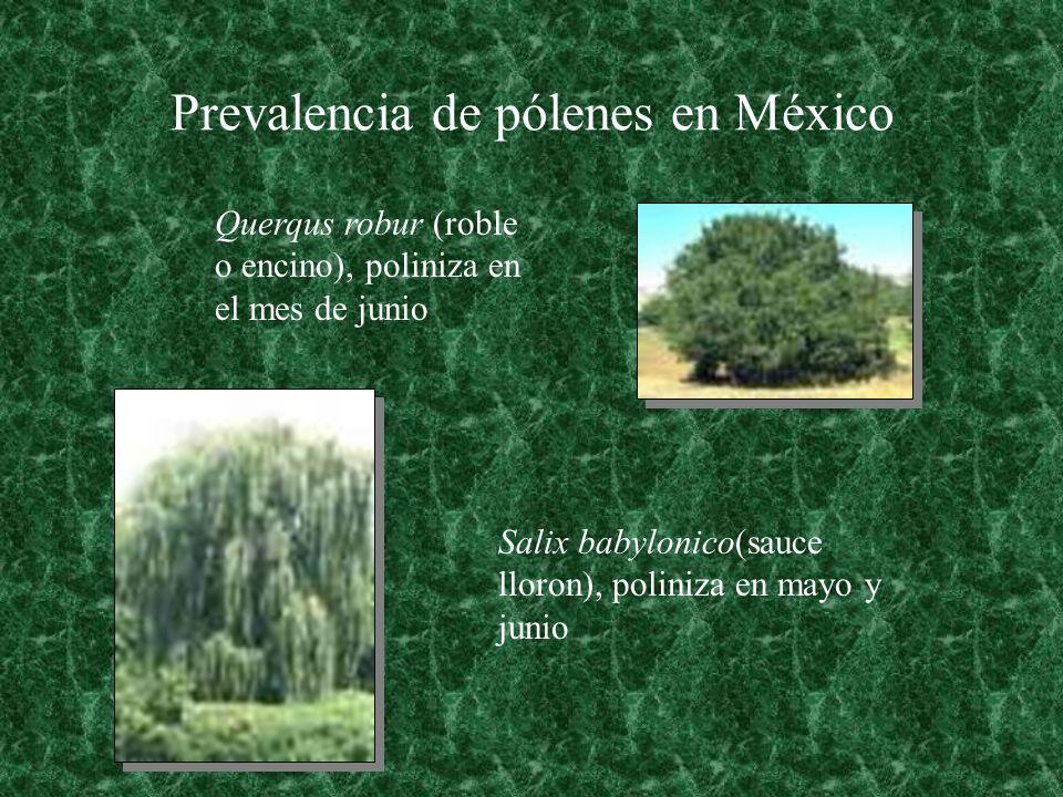 Prevalencia de pólenes en México Querqus robur (roble o encino), poliniza en el mes de junio Salix babylonico(sauce lloron), poliniza en mayo y junio