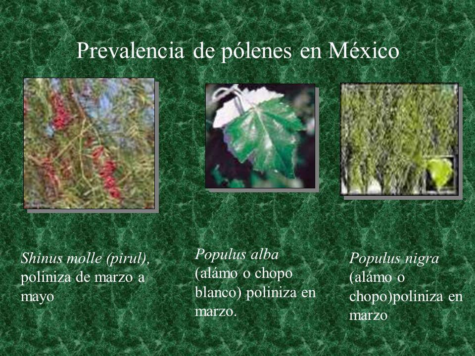 Prevalencia de pólenes en México Shinus molle (pirul), poliniza de marzo a mayo Populus alba (alámo o chopo blanco) poliniza en marzo. Populus nigra (
