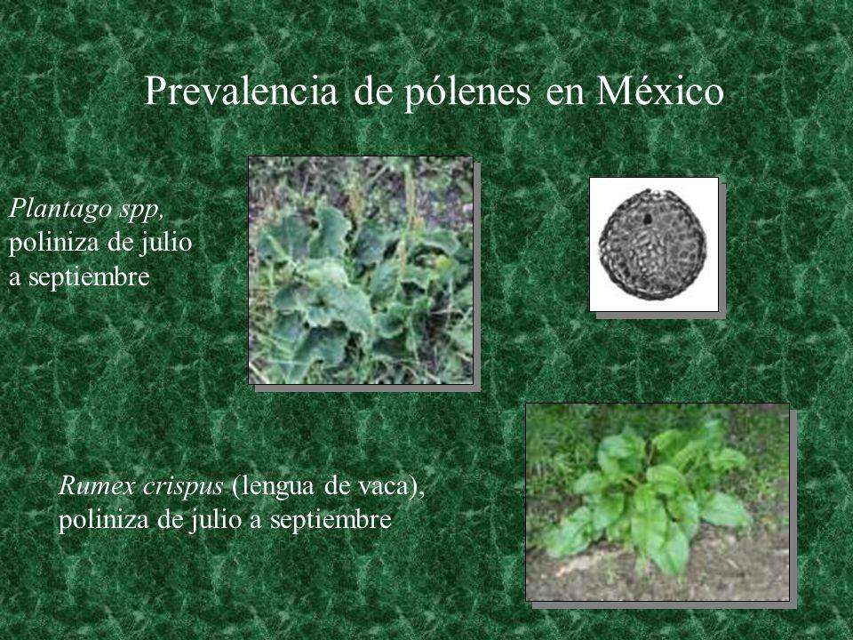 Prevalencia de pólenes en México Plantago spp, poliniza de julio a septiembre Rumex crispus (lengua de vaca), poliniza de julio a septiembre