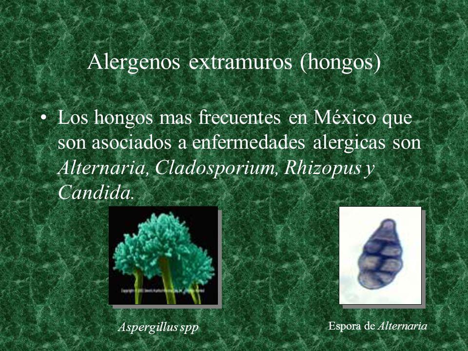 Alergenos extramuros (hongos) Los hongos mas frecuentes en México que son asociados a enfermedades alergicas son Alternaria, Cladosporium, Rhizopus y