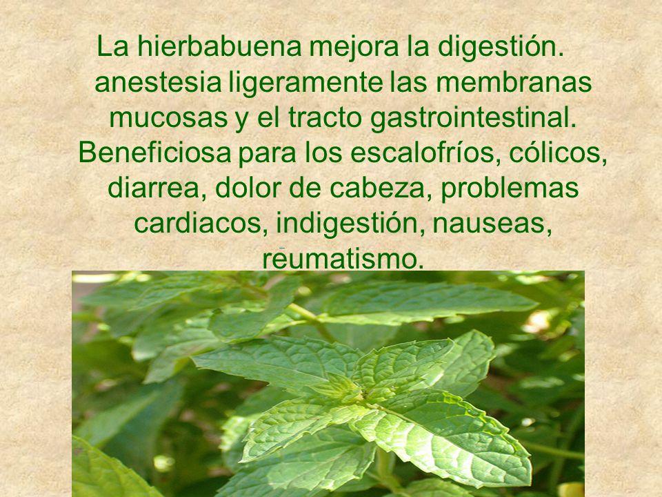 La hierbabuena mejora la digestión. anestesia ligeramente las membranas mucosas y el tracto gastrointestinal. Beneficiosa para los escalofríos, cólico