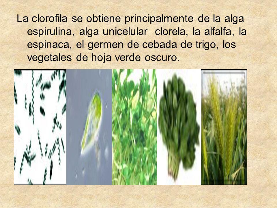 La clorofila se obtiene principalmente de la alga espirulina, alga unicelular clorela, la alfalfa, la espinaca, el germen de cebada de trigo, los vege