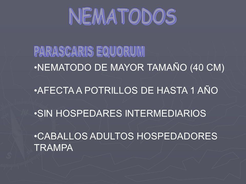 NEMATODO DE MAYOR TAMAÑO (40 CM) AFECTA A POTRILLOS DE HASTA 1 AÑO SIN HOSPEDARES INTERMEDIARIOS CABALLOS ADULTOS HOSPEDADORES TRAMPA