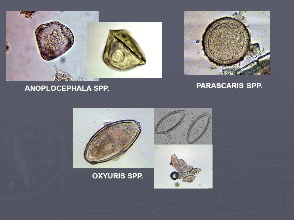 ANOPLOCEPHALA SPP. PARASCARIS SPP. OXYURIS SPP.