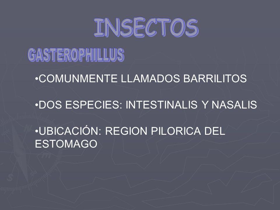 COMUNMENTE LLAMADOS BARRILITOS DOS ESPECIES: INTESTINALIS Y NASALIS UBICACIÓN: REGION PILORICA DEL ESTOMAGO