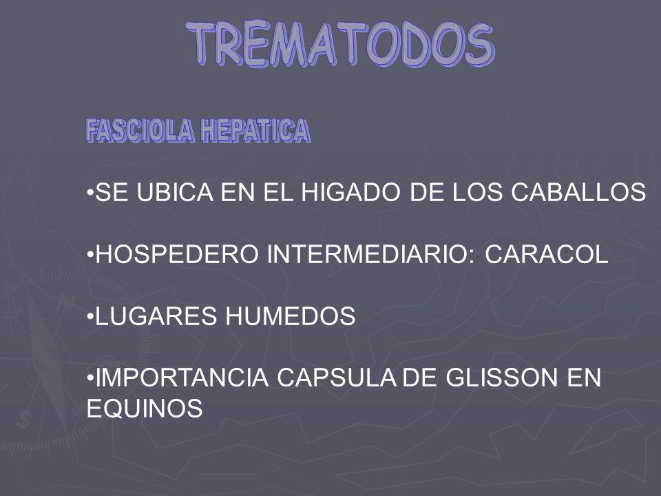 SE UBICA EN EL HIGADO DE LOS CABALLOS HOSPEDERO INTERMEDIARIO: CARACOL LUGARES HUMEDOS IMPORTANCIA CAPSULA DE GLISSON EN EQUINOS