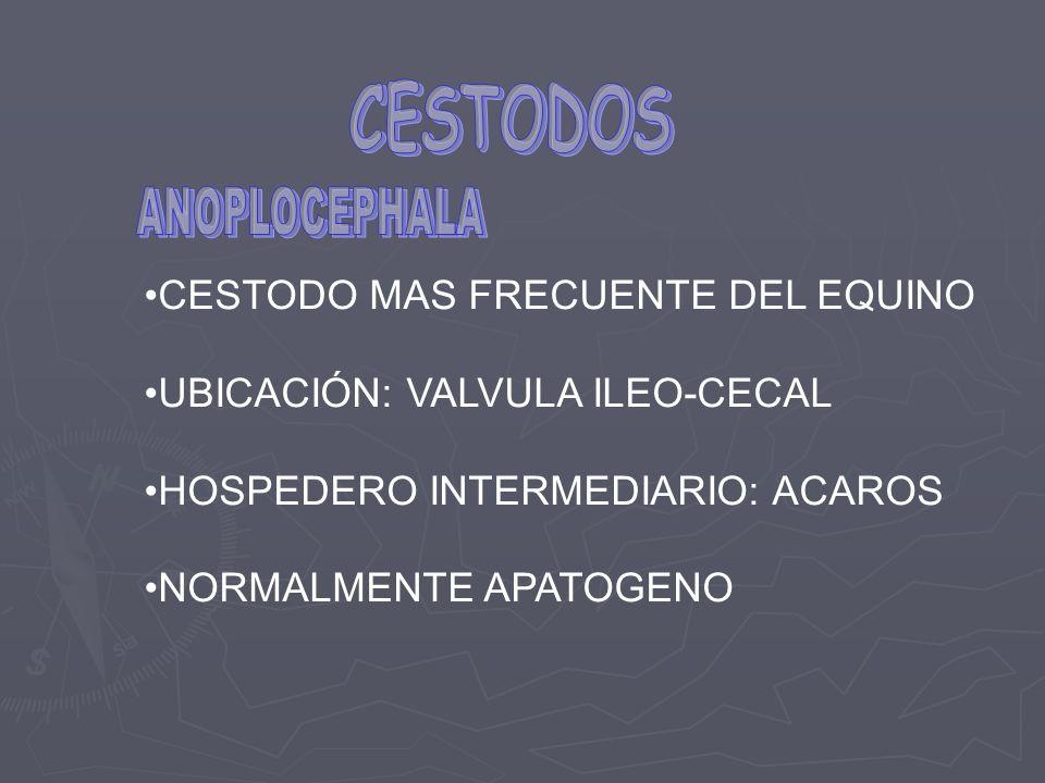 CESTODO MAS FRECUENTE DEL EQUINO UBICACIÓN: VALVULA ILEO-CECAL HOSPEDERO INTERMEDIARIO: ACAROS NORMALMENTE APATOGENO