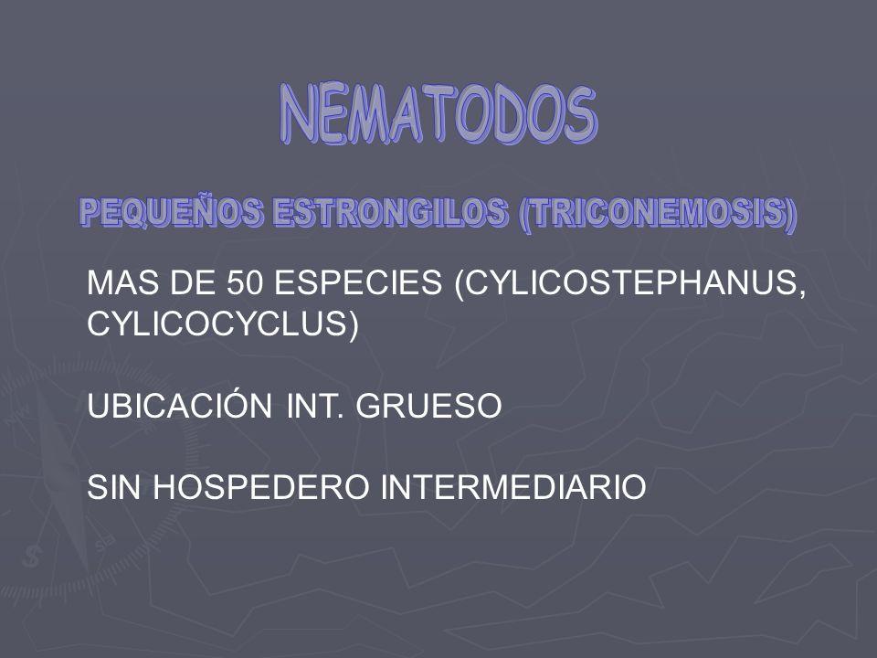 MAS DE 50 ESPECIES (CYLICOSTEPHANUS, CYLICOCYCLUS) UBICACIÓN INT. GRUESO SIN HOSPEDERO INTERMEDIARIO