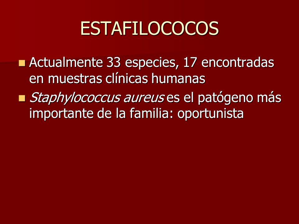 ESTAFILOCOCOS Actualmente 33 especies, 17 encontradas en muestras clínicas humanas Actualmente 33 especies, 17 encontradas en muestras clínicas humana