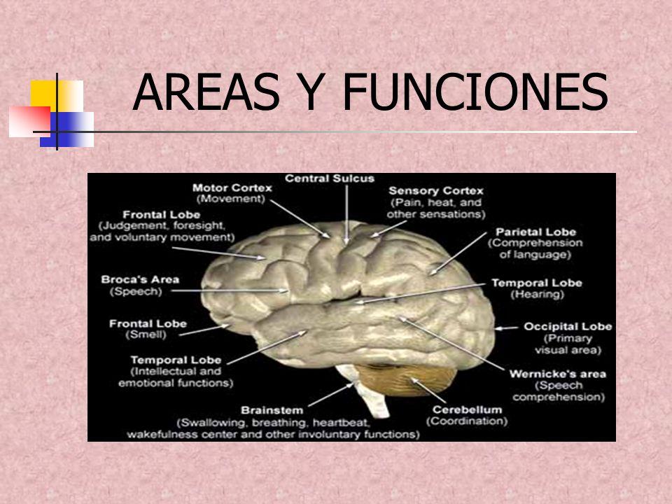 Se define como la facultad del cerebro que permite registrar experiencias nuevas y recordar otras pasadas.