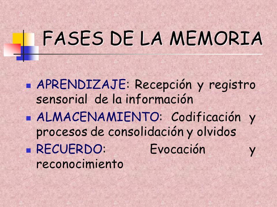 FASES DE LA MEMORIA APRENDIZAJE: Recepción y registro sensorial de la información ALMACENAMIENTO: Codificación y procesos de consolidación y olvidos R