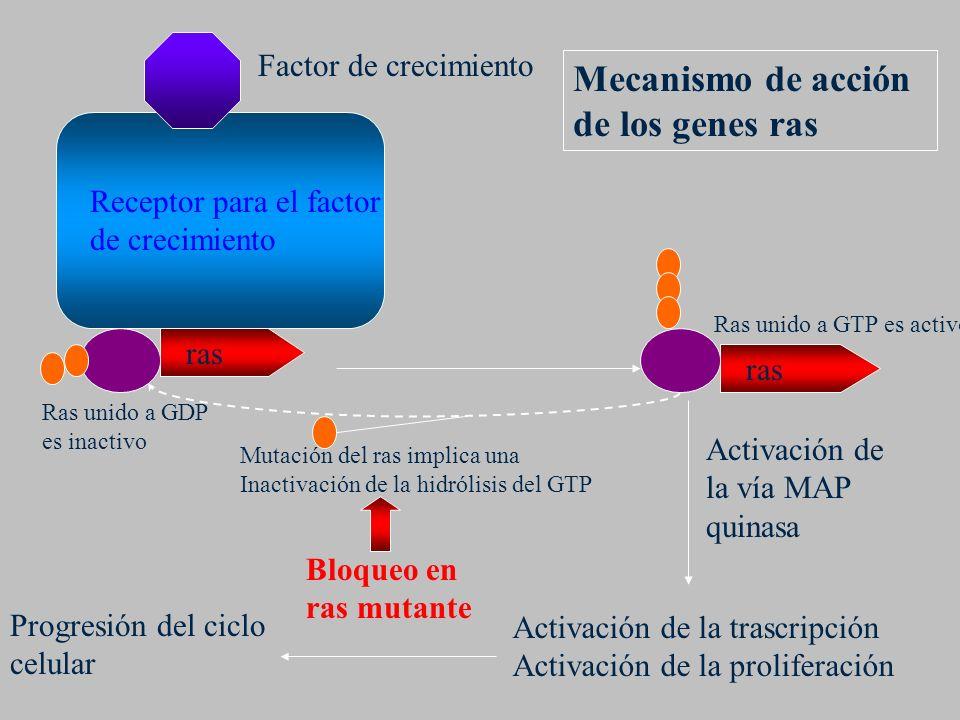 Receptor para el factor de crecimiento Ras unido a GTP es activo Ras unido a GDP es inactivo Factor de crecimiento Activación de la vía MAP quinasa Ac