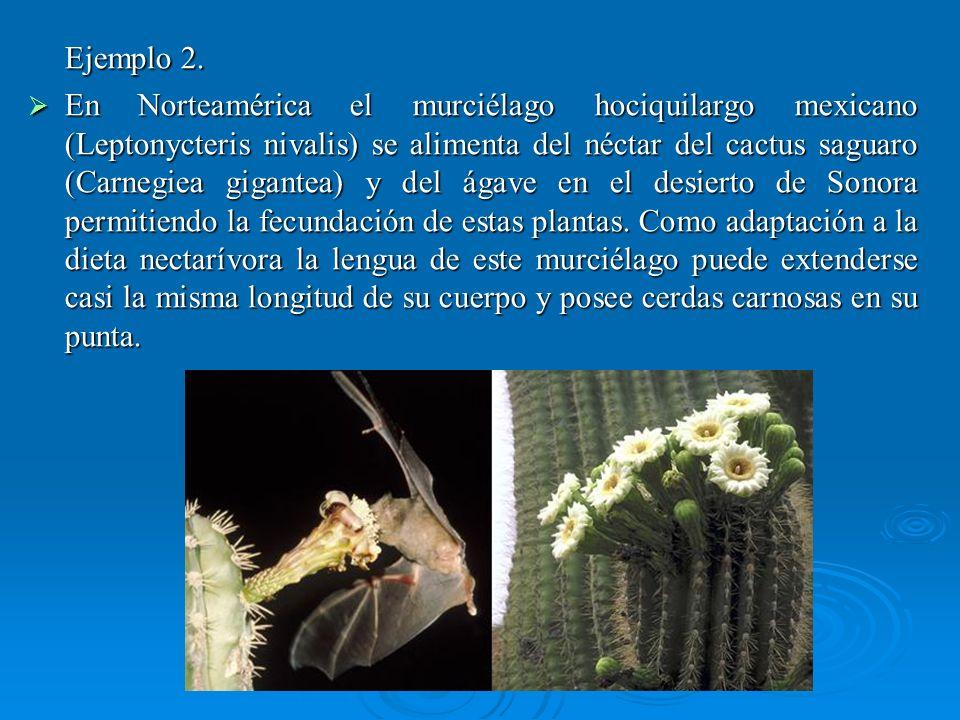 Ejemplo 2. En Norteamérica el murciélago hociquilargo mexicano (Leptonycteris nivalis) se alimenta del néctar del cactus saguaro (Carnegiea gigantea)