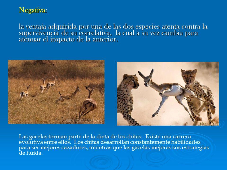 Negativa: la ventaja adquirida por una de las dos especies atenta contra la supervivencia de su correlativa, la cual a su vez cambia para atenuar el i