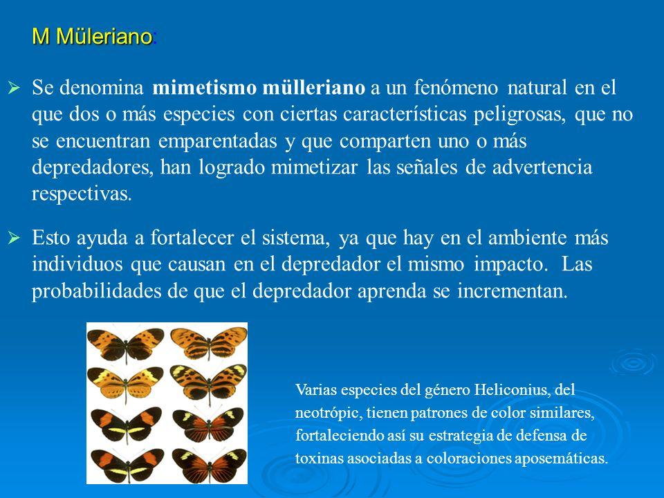 M Müleriano M Müleriano: Se denomina mimetismo mülleriano a un fenómeno natural en el que dos o más especies con ciertas características peligrosas, q
