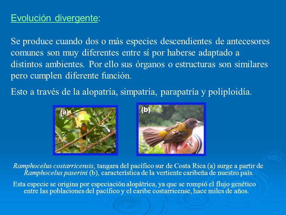 Evolución divergente: Se produce cuando dos o más especies descendientes de antecesores comunes son muy diferentes entre sí por haberse adaptado a dis