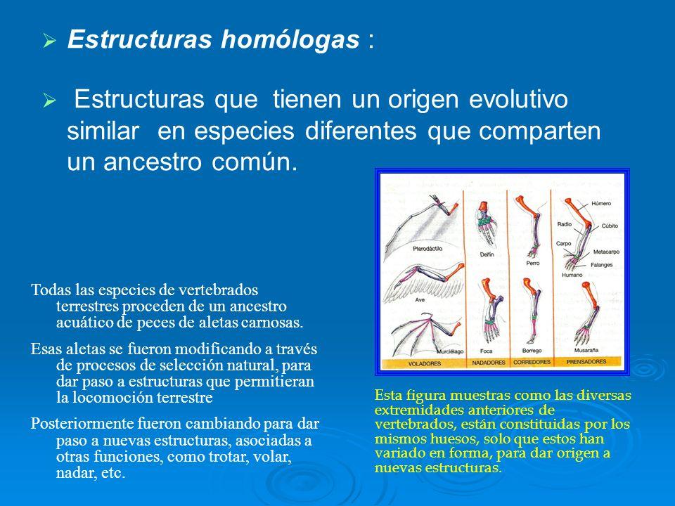 Estructuras homólogas : Estructuras que tienen un origen evolutivo similar en especies diferentes que comparten un ancestro común. Todas las especies