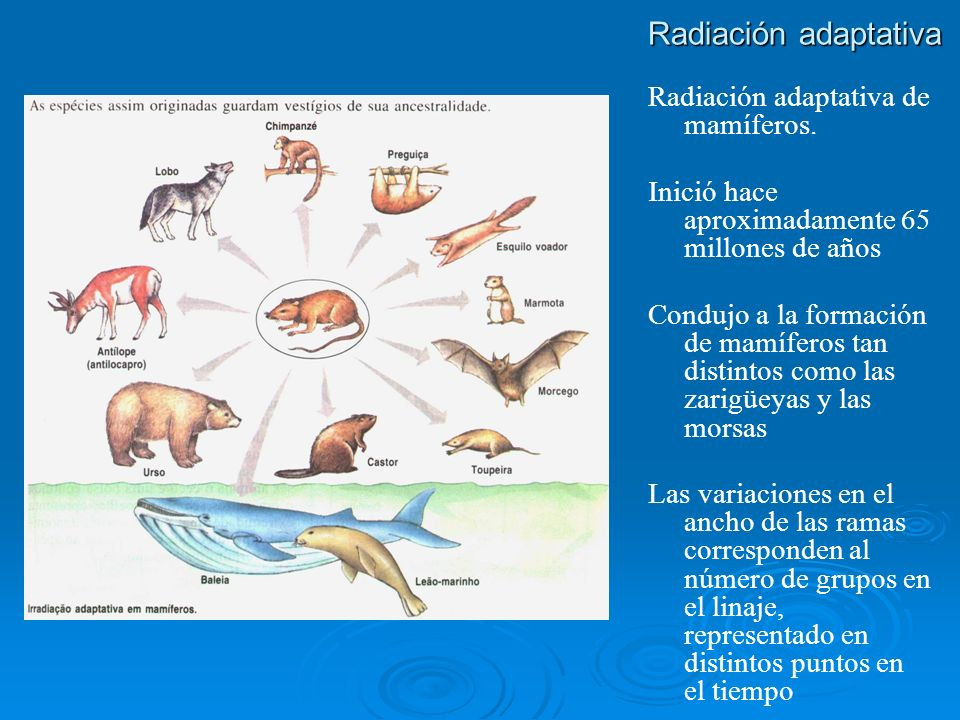 Radiación adaptativa Radiación adaptativa de mamíferos. Inició hace aproximadamente 65 millones de años Condujo a la formación de mamíferos tan distin