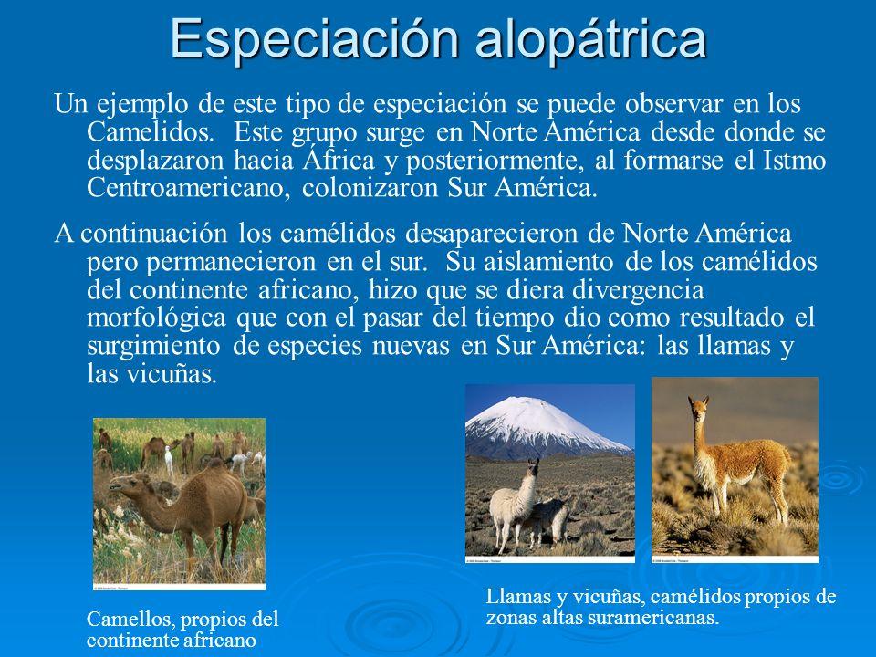 Especiación alopátrica Un ejemplo de este tipo de especiación se puede observar en los Camelidos. Este grupo surge en Norte América desde donde se des