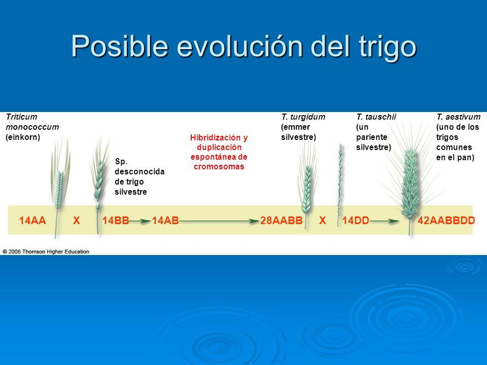 Triticum monococcum (einkorn) T. aestivum (uno de los trigos comunes en el pan) Sp. desconocida de trigo silvestre T. turgidum (emmer silvestre) T. ta