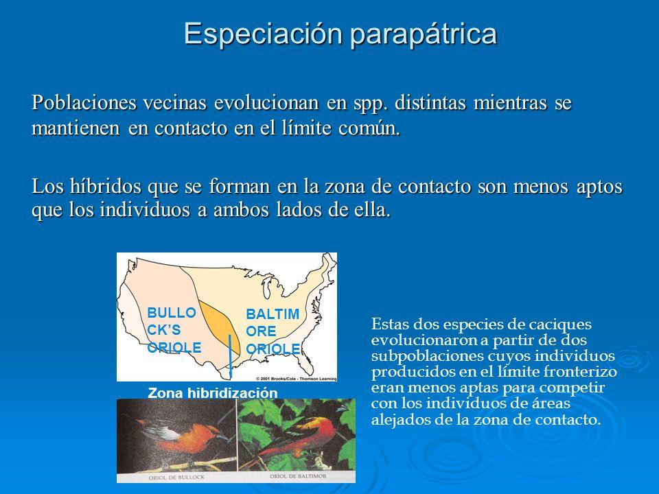 Especiación parapátrica Poblaciones vecinas evolucionan en spp. distintas mientras se mantienen en contacto en el límite común. Los híbridos que se fo