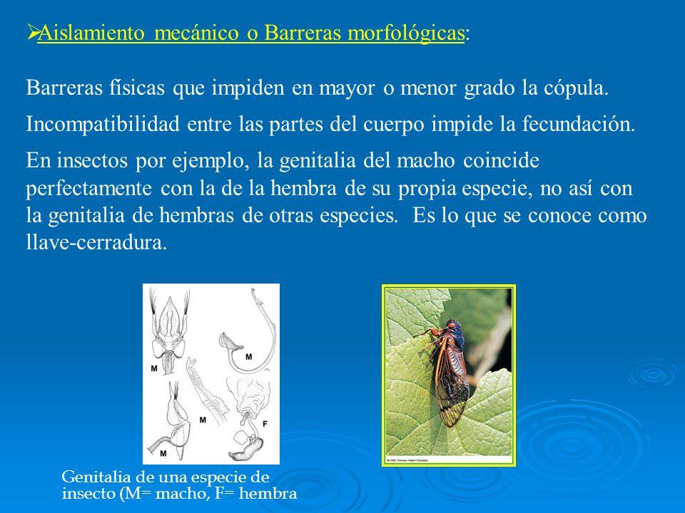 Aislamiento mecánico o Barreras morfológicas: Barreras físicas que impiden en mayor o menor grado la cópula. Incompatibilidad entre las partes del cue