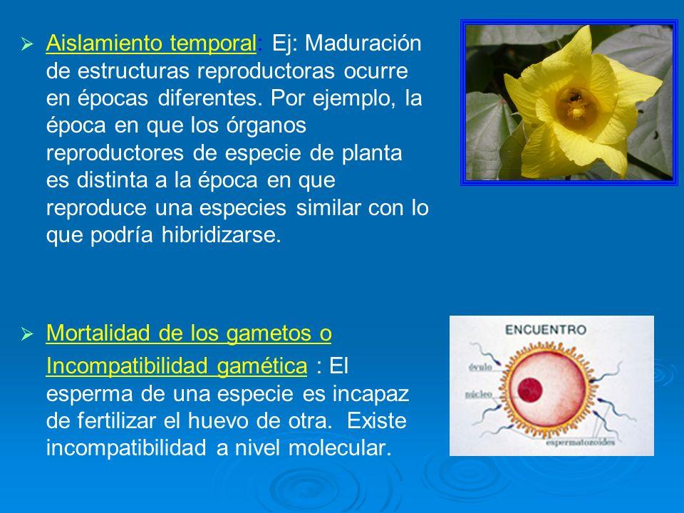 Aislamiento temporal: Ej: Maduración de estructuras reproductoras ocurre en épocas diferentes. Por ejemplo, la época en que los órganos reproductores