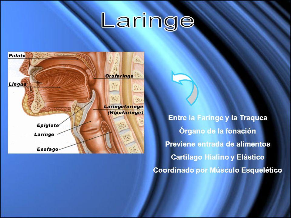 Entre la Faringe y la Traquea Órgano de la fonación Previene entrada de alimentos Cartílago Hialino y Elástico Coordinado por Músculo Esquelético