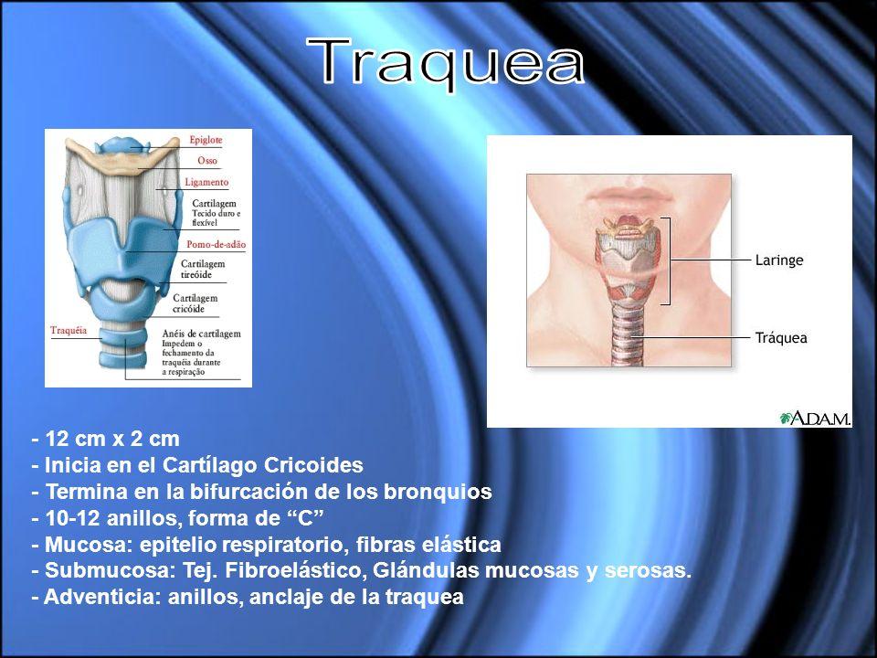 - 12 cm x 2 cm - Inicia en el Cartílago Cricoides - Termina en la bifurcación de los bronquios - 10-12 anillos, forma de C - Mucosa: epitelio respirat