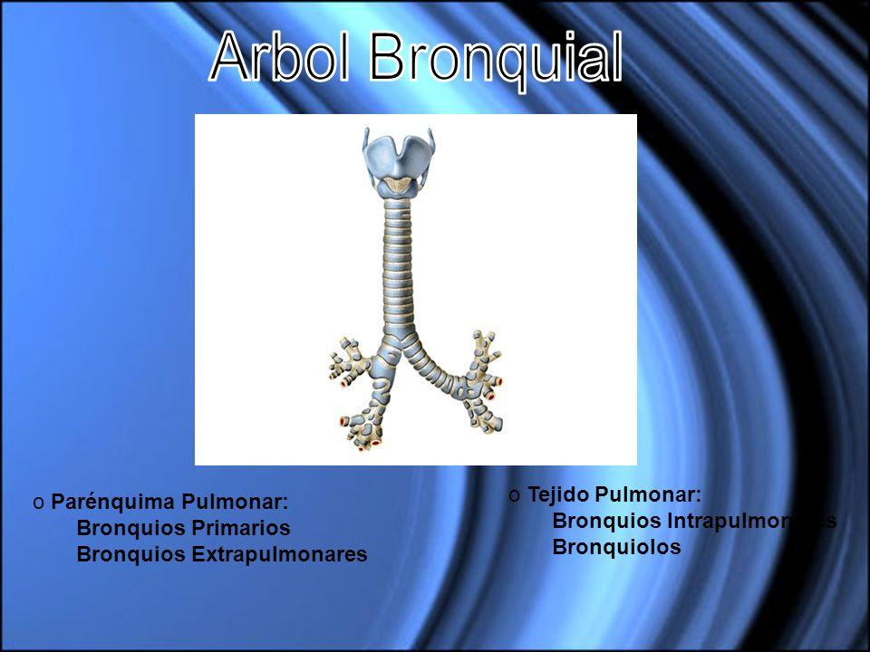 o Parénquima Pulmonar: Bronquios Primarios Bronquios Extrapulmonares o Tejido Pulmonar: Bronquios Intrapulmonares Bronquiolos
