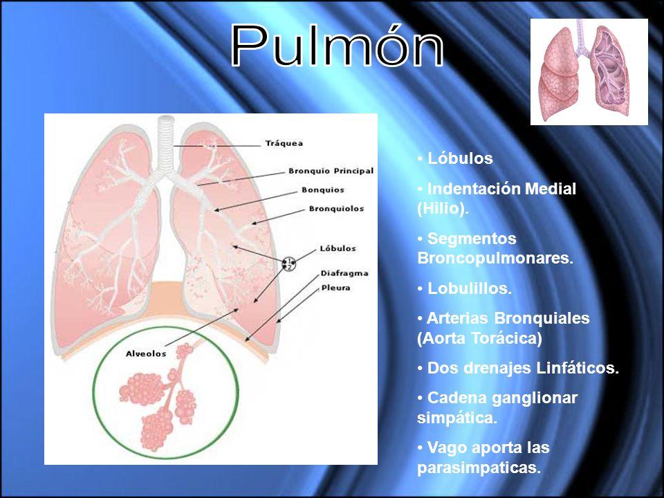 Lóbulos Indentación Medial (Hilio). Segmentos Broncopulmonares. Lobulillos. Arterias Bronquiales (Aorta Torácica) Dos drenajes Linfáticos. Cadena gang