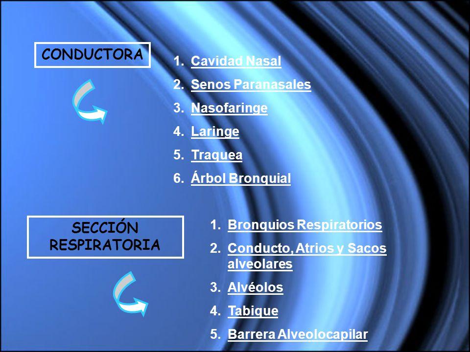 CONDUCTORA 1.Cavidad Nasal 2.Senos Paranasales 3.Nasofaringe 4.Laringe 5.Traquea 6.Árbol Bronquial 1.Bronquios Respiratorios 2.Conducto, Atrios y Saco