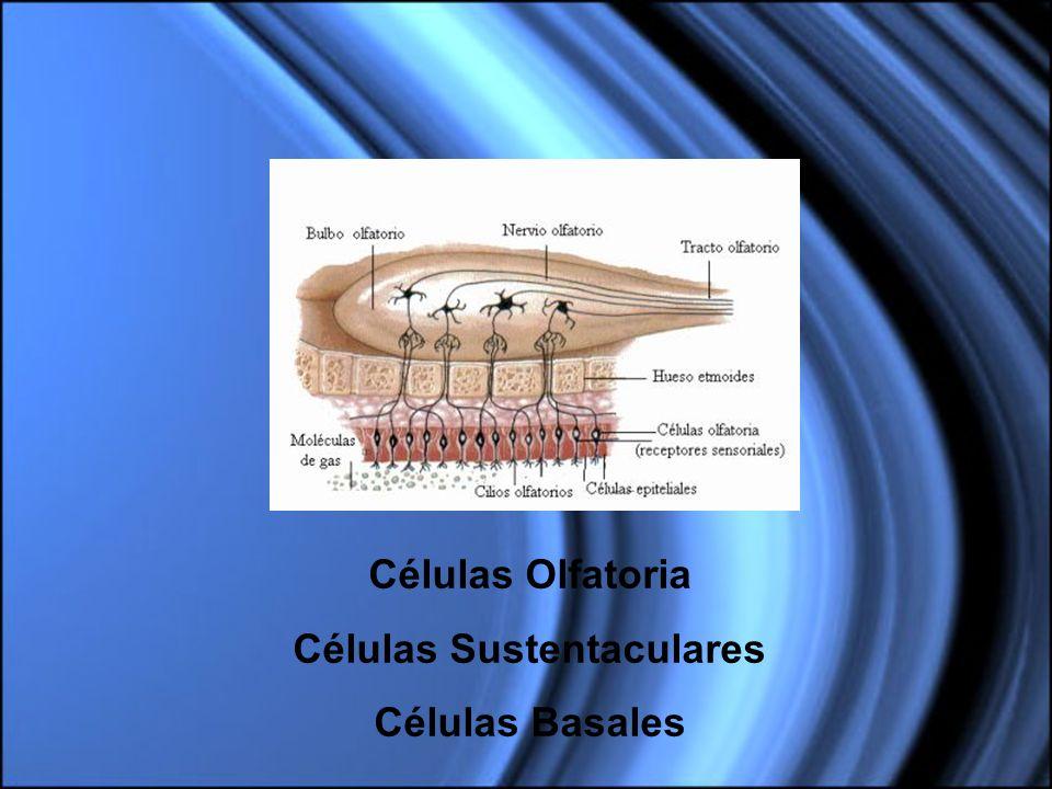 Células Olfatoria Células Sustentaculares Células Basales