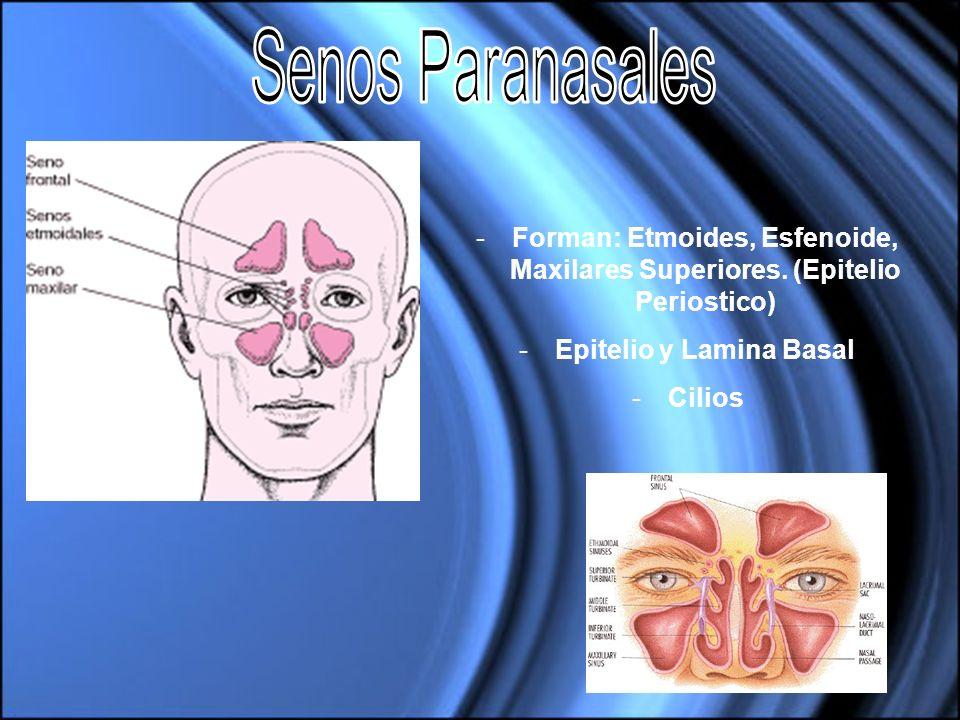 -Forman: Etmoides, Esfenoide, Maxilares Superiores. (Epitelio Periostico) -Epitelio y Lamina Basal -Cilios