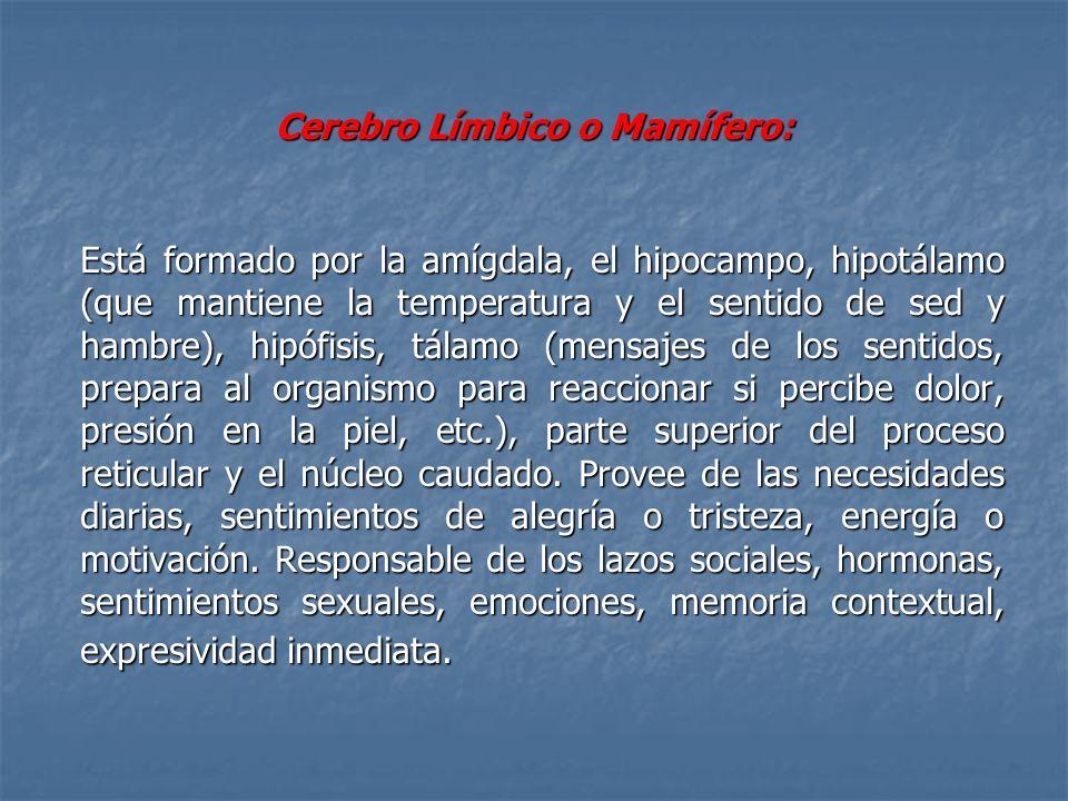 Cerebro Límbico o Mamífero: Está formado por la amígdala, el hipocampo, hipotálamo (que mantiene la temperatura y el sentido de sed y hambre), hipófis