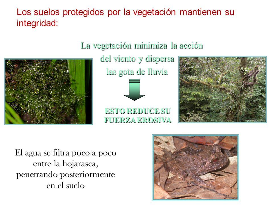 Los suelos protegidos por la vegetación mantienen su integridad: La vegetación minimiza la acción La vegetación minimiza la acción del viento y disper