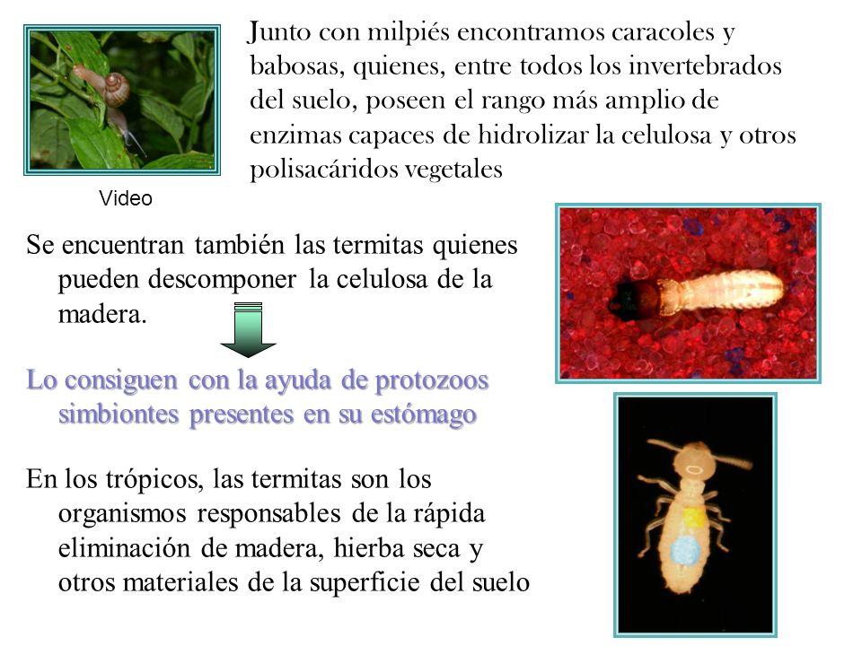 arañas, escarabajos, pseudoscorpiones, ácaros predadores y ciempiés, Existen también depredadores como: arañas, escarabajos, pseudoscorpiones, ácaros predadores y ciempiés, Los hongos también son parte importante de la biota del suelo Estos se alimentan de animales detritívoros que generalmente son artrópodos pequeños.