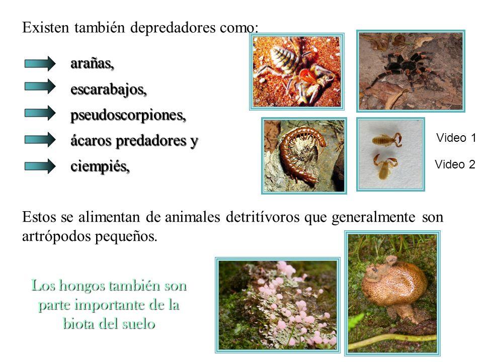 arañas, escarabajos, pseudoscorpiones, ácaros predadores y ciempiés, Existen también depredadores como: arañas, escarabajos, pseudoscorpiones, ácaros