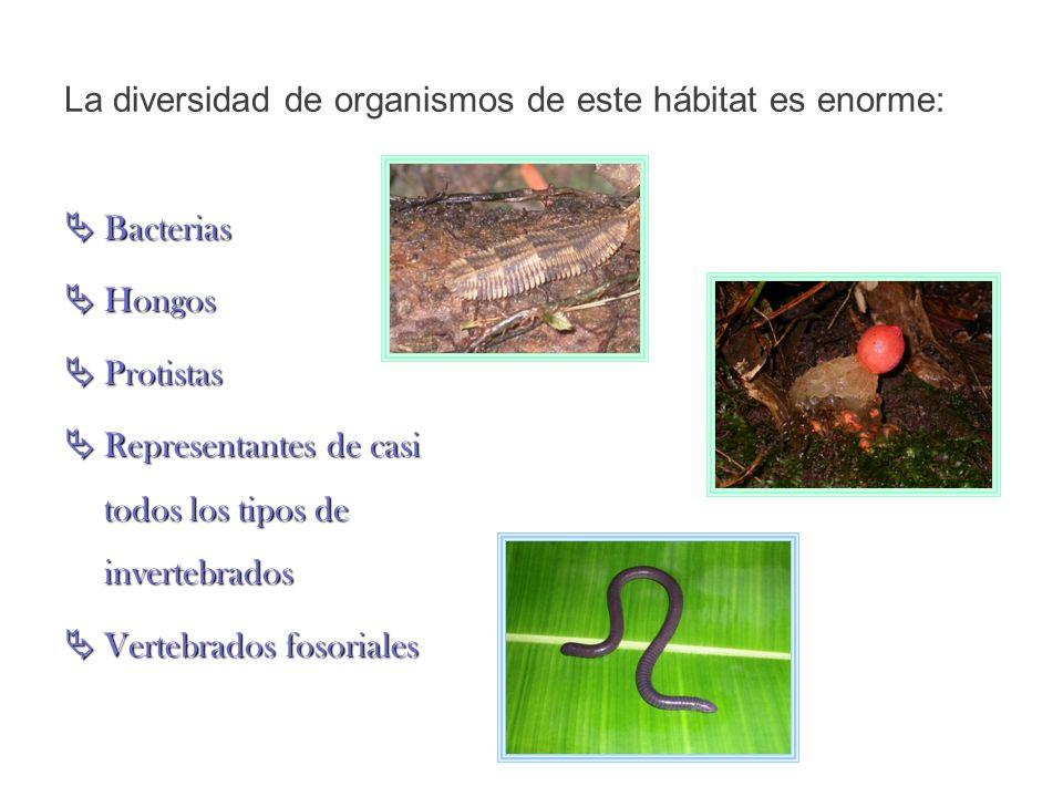 Los grupos dominantes son las bacterias, hongos protozoos y nemátodos Entre los espacios porosos de suelo se encuentran los animales más abundantes, los ácaros y colémbolos.