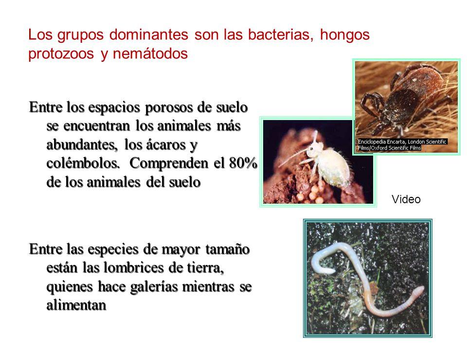 En la superficie de la hojarasca están los milpiés, alimentándose de hojas, especialmente las que ya hayan sido parcialmente descompuestas por los hongos.