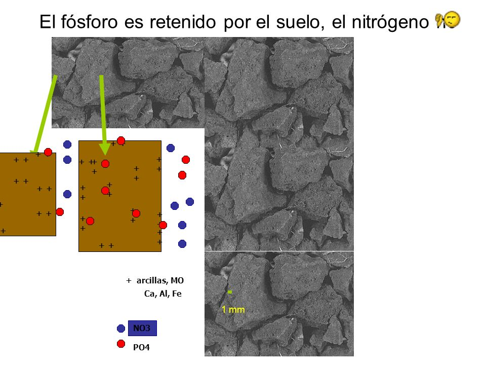 NO3 Ca, Al, Fe El fósforo es retenido por el suelo, el nitrógeno no 1 mm ++++ ++++ ++++ ++++ ++++ ++++ ++++ ++++ ++++ ++++ ++++ + arcillas, MO ++++ ++