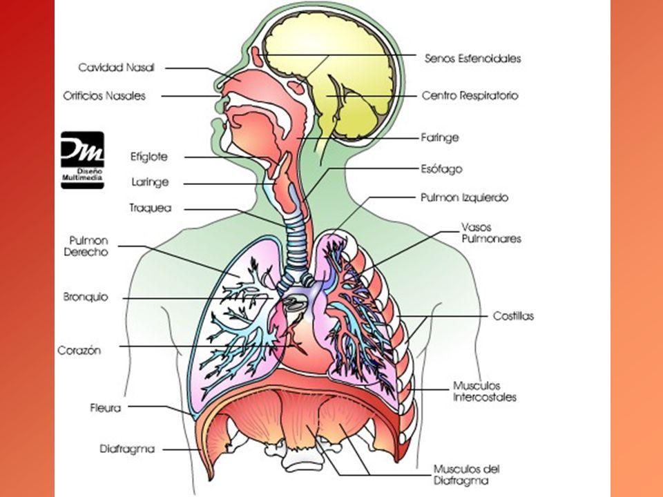 LA AMPLIFICACIÓN DEL SONIDO: LOS RESONADORES El sonido producido en las cuerdas vocales se amplifica en los resonadores de nuestro cuerpo: –Faciales: huecos óseos que hay en la cara y la cabeza.
